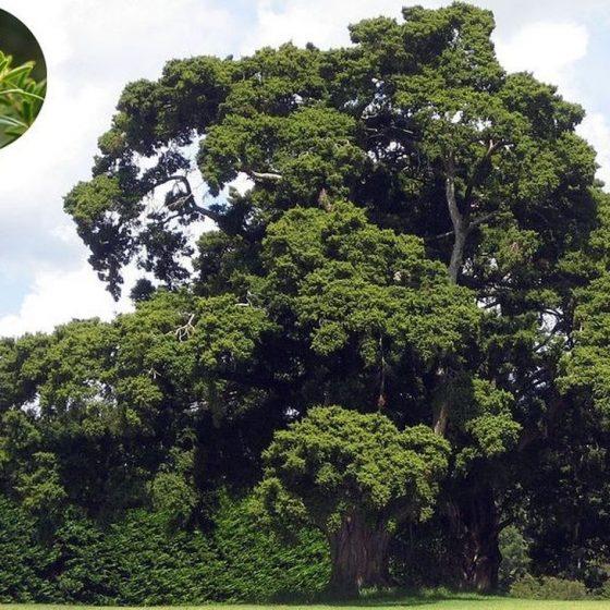 naturalne kosmetyki, nowa zelandia, maoryskie receptury, rytuały piękna, jak kobiety z różnych stron świata dbają o urodę, drzewo totara