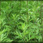 Azjatki pokochały yomogi. Super roślina z japońskich wysp